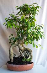 Ficus benjamina (Weeping Fig)