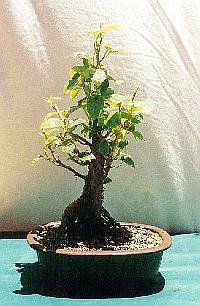 Moreton Bay Fig Bonsai